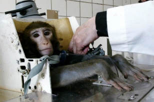 MOSCOW, RUSSIA - APRIL 15: Russian scientists prepare monkey during testing at the Medical and Biological Problems Laboratory on April 15, 2003 in outside Moscow, Russia. Russian scientists at the country's top space medicine centre use animals to test the health effects of life in space. (Photo by Dmitry Korotayev/Epsilon/Getty Images)